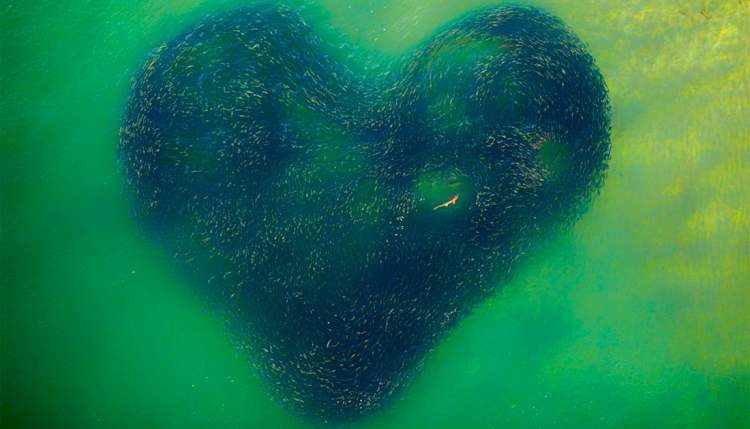 A Shark Swimming in a Heart-Shaped School of Salmon Tops 2020 Drone Photography Contest